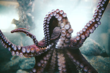 octopus arms