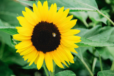 a bee tucks into the dark centre of a sunflower