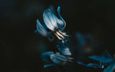a blue bell exposes its anthers and filaments