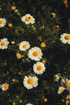 a bunch of freshly bloomed daisies