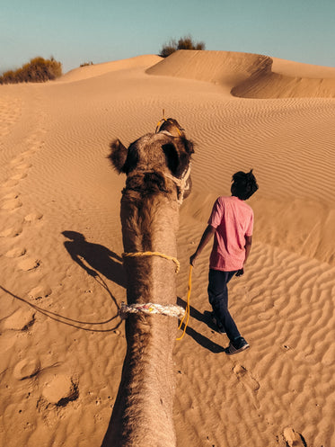 a camel is lead by yellow lead