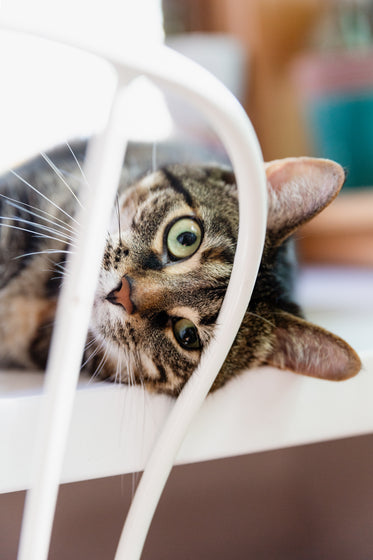 a cat looks through the back of a chair