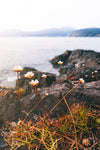 a close up of white flowers on a cliffside