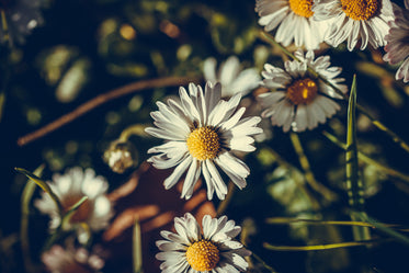 a close up of wild daisies