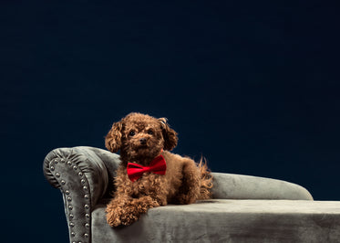a curly brown-haired dog in a red bow tie