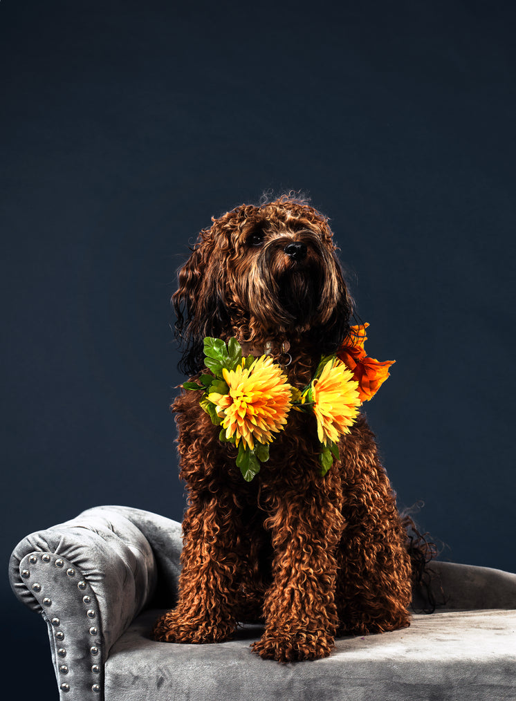 a-curly-furry-brown-haired-dog.jpg?width