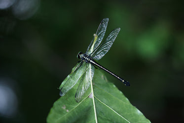 a dragonfly sits on the tip of a leaf