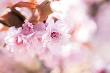 a dreamy close up of a cherry blossom