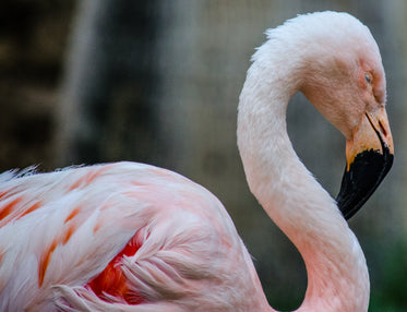 a flamingo bows its head to nap