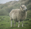 a fluffy sheep smiles in a windy field