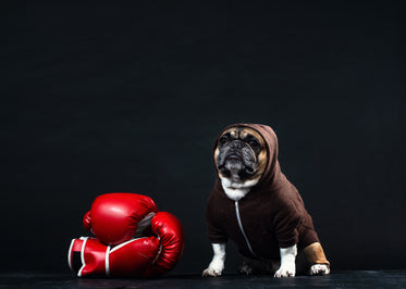 a french bulldog in a hoodie with boxing gloves