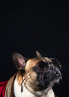 a french bulldog looks intellectual in reading glasses