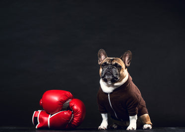 a french bulldog stands guard by boxing gloves