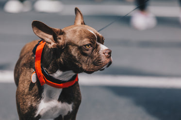 a french bulldog stands proud in the sun