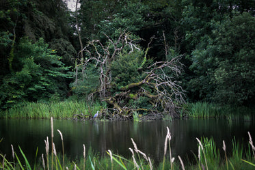 a gnarly tree by the river shelters a heron