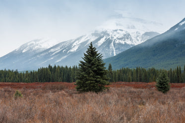 a large fir tree in a wild field in front of snowy mountains