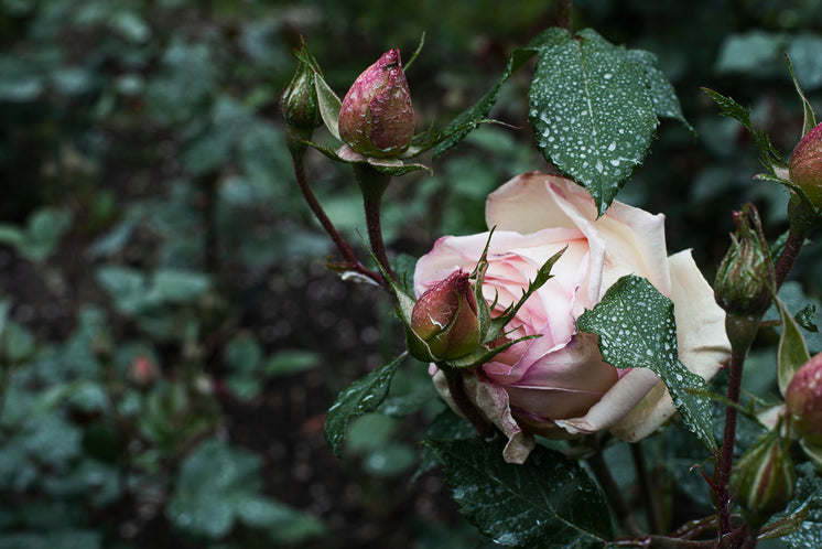 A Large Pink Rose And Baby Buds In Grey Wet Weather