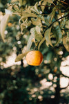 a lonely orange in a tree