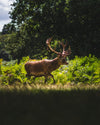 a majestic stag in the afternoon sun