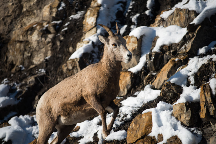 A Mountain Goat Clambers Up A Snowy Slope