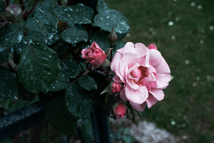 A Pink Rose Bursts Forth From Dark Dewy Green Leaves