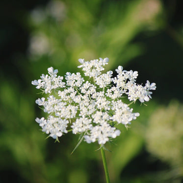 a queen annes lace flower in bloom
