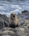a sea lion yawns by the shoreline