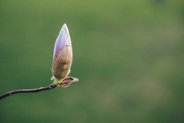 a single pink magnolia about to bloom