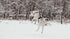 a sled dog leaps into the air with excitement