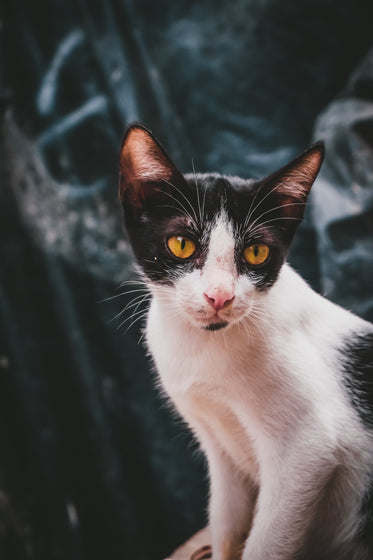a small black and white street cat
