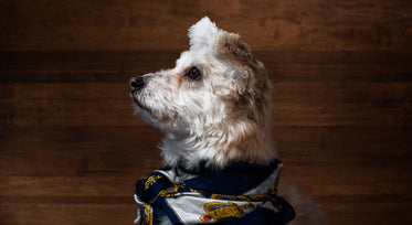 a small white terrier looking stylish