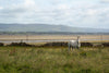 a white horse in a field walled off from a  beach