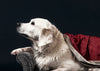 a white labrador wearing a pearl necklace