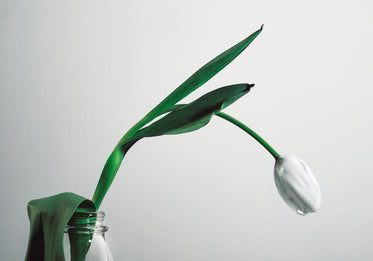 a white tulip hangs over the bright background