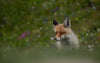 a winking fox stands in a green field