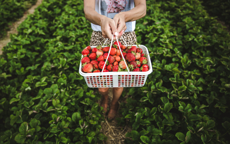 A Woman Holds A Basket Of Strawberries In A Field