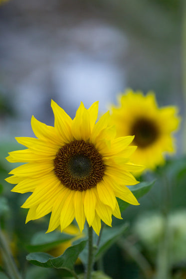 a yellow sunflower in full bloom