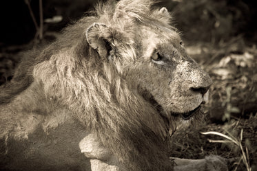 adult male lion in the sun