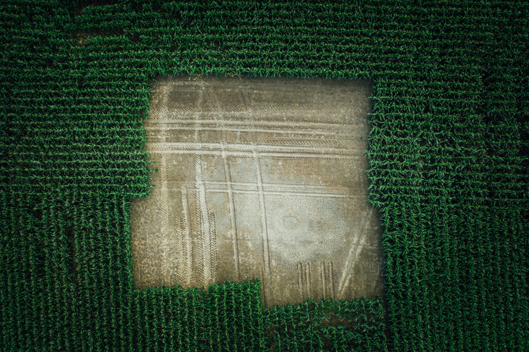 Aerial View Of Blank Section Of Corn Field From Drone
