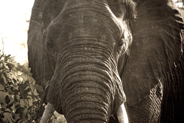 african elephant close up