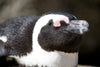 african penguin close up