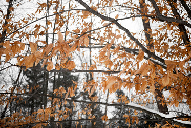 amber frozen leaves dangle from frosty trees