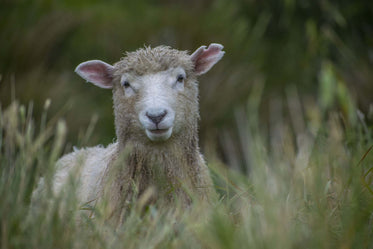 an inquisitive sheep pops up from the long grass