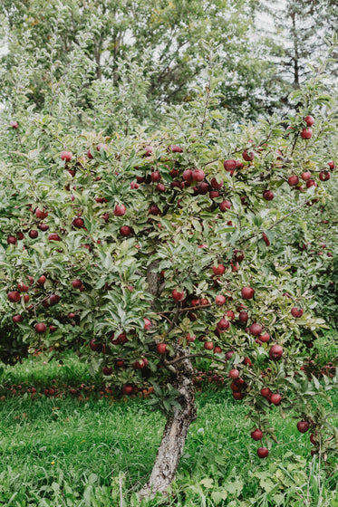 apple orchard ready for the picking