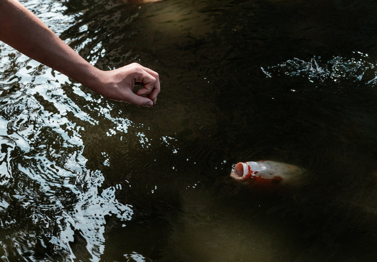 Arm Reaching Towards The Open Mouth Of A Koi Fish In A Pond