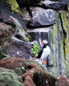 atlantic puffin perched atop rocky cliffs covered in moss