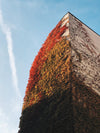autumn vine leaves climb the wall of a building