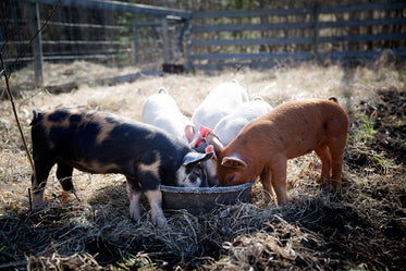 baby pigs eating on the farm