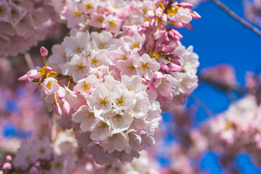 baby pink cherry blossoms and buds lit by spring sunshine