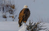 bald eagle stands in a snowy field